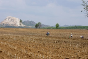 Planting tapioca in badly degraded soils, during a drought, where once there was forest