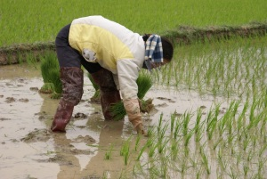Nguyen Thi Dung in her small rice field