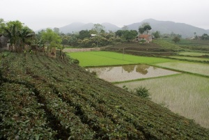 A typical tea farming scene in Thai Nguyen Province