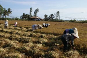 Hand harvesting of rice